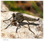 Title: Robber Fly in Action