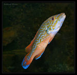Title: The Rockcook wrasse