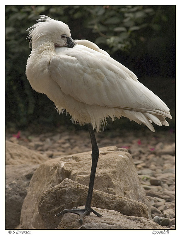 The Spoonbill