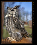 Title: Spotted Eagle Owl