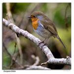 Title: The Robin