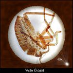 Title: Water Cricket