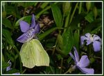 Title: Gonepteryx rhamni and Vinca minor