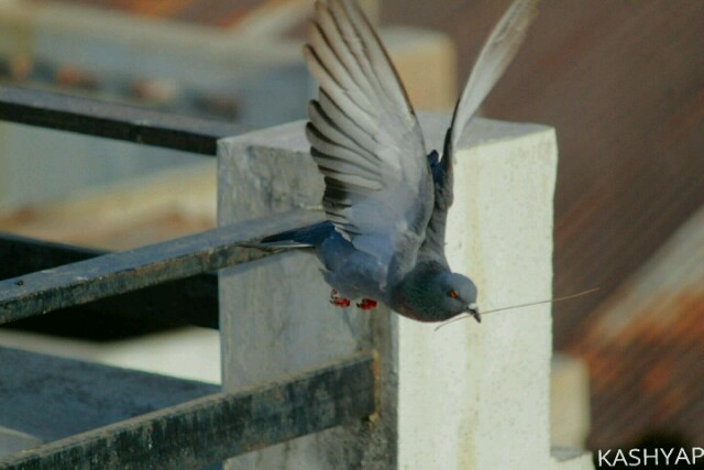 Male Pigeon off to nest