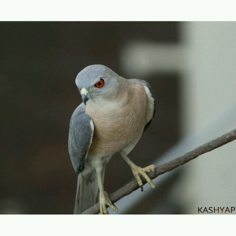Red-Eyed Shikra