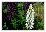 Title: White Lupin