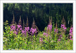 Title: Fireweed