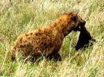 Title: hyena and her baby