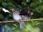 Title: Young blackcaps