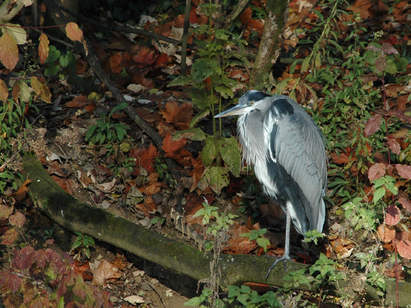 Grey Heron at rest