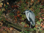 Title: Grey Heron at rest