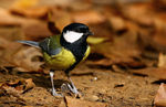 Title: Parus major / Great Tit