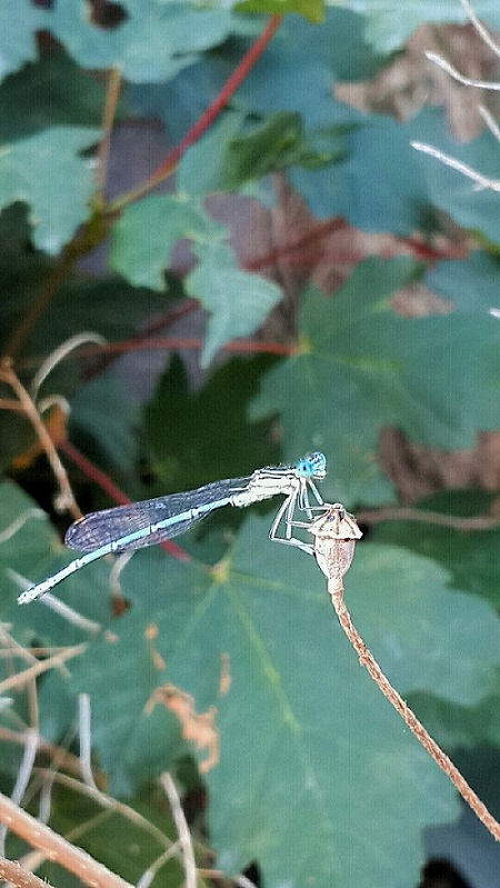 CERIAGRION