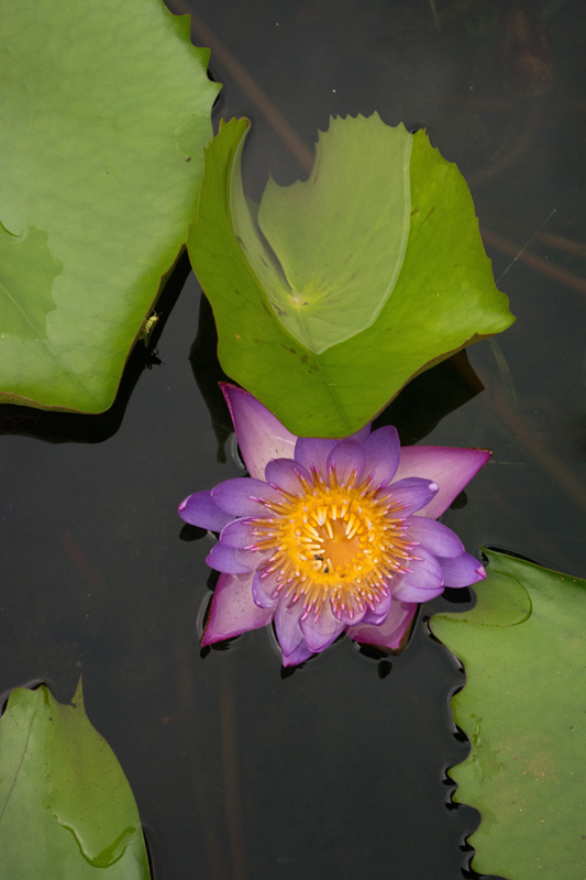 Waterlily and grasshopper