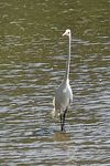 Title: Great Egret (1)