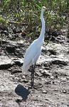 Title: Another great egret