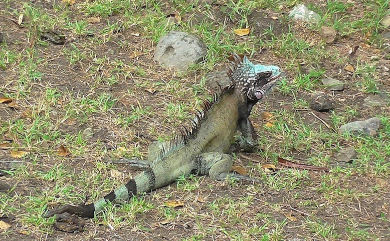 The neighborhood iguana