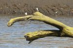 Title: Mangrove swallows