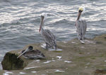 Title: Pelicans on the rocks
