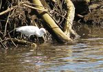 Title: Snowy egret looking for food