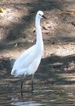 Title: Another snowy egret