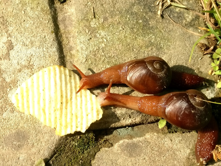 snails eating chips