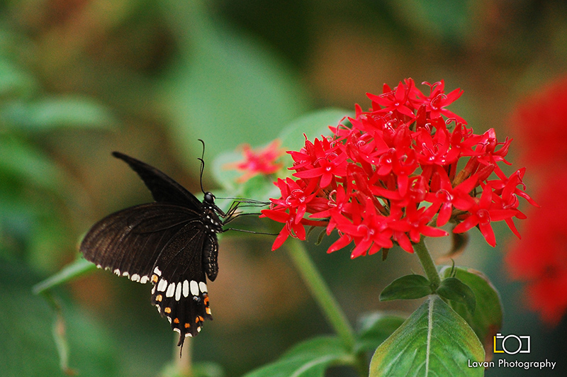 Butterfly - Common Crow