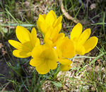 Title: Yellow CrocusPentax K1