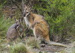Title: Swamp Wallaby