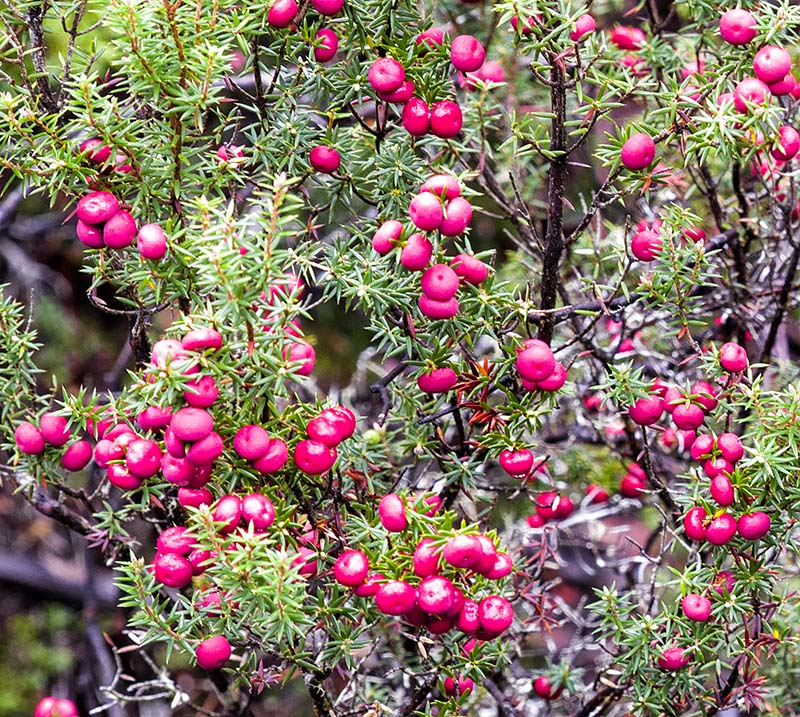 Mountain Pink Berry