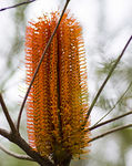 Title: Banksia Spinulosa