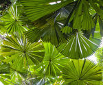 Title: Fan Palm