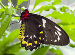 Title: Cairns Birdwing