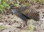 Title: Buff-banded rail