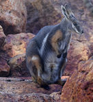 Title: Yellow Footed Wallaby