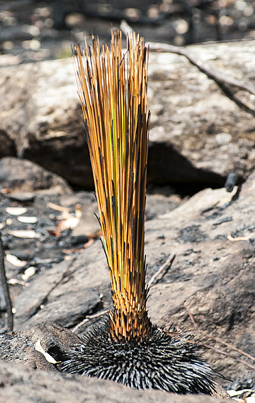 Burnt grass tree