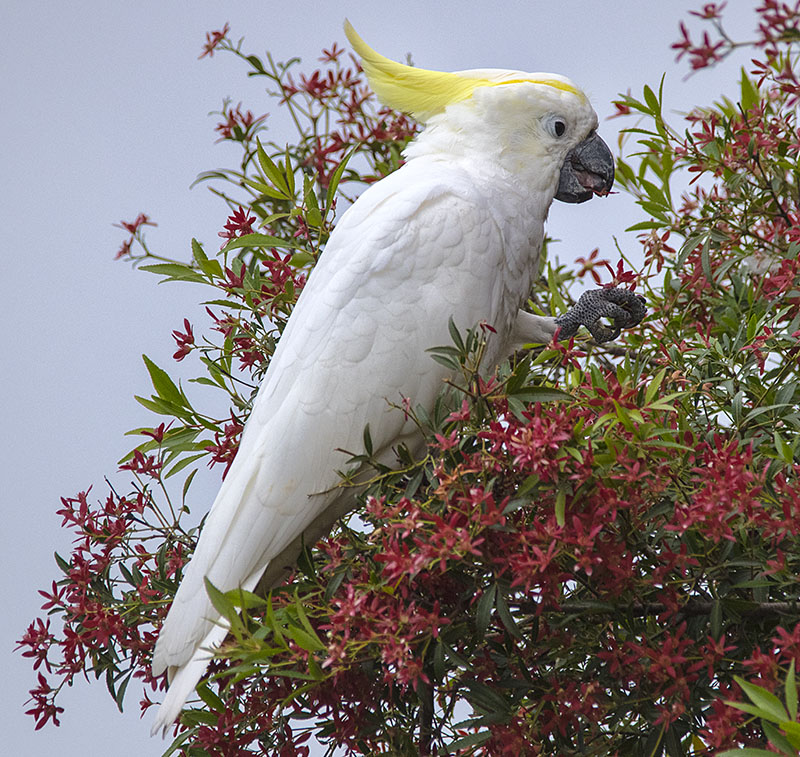 Sulphure Crested Cockatoo