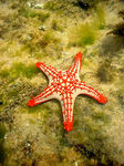 Title: Red-knobbed starfish