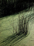 Title: Reeds