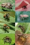 Title: Jumping spiders collage