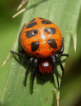 Title: Red black spotted spider