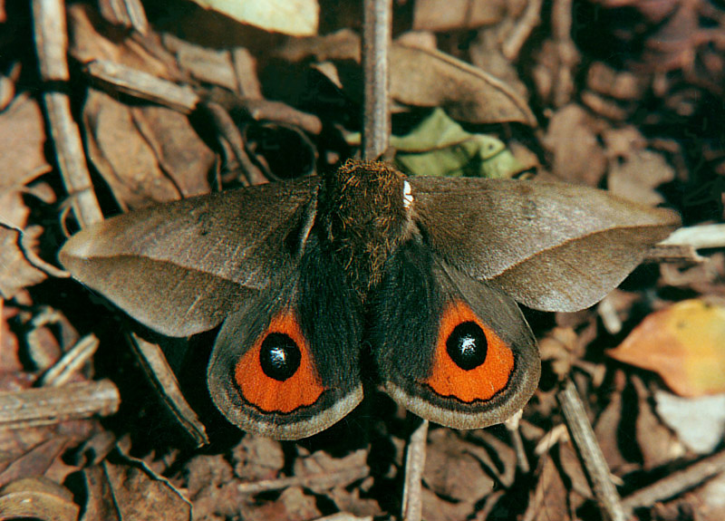 Gonzalo Andrade-C. в Твиттере: «Moth Eloria noyesi, her caterpillar only eats leaves coca genus Erytrhoxylum ,. Biological control eradication coca http://t.co/d4riJDwGxK »