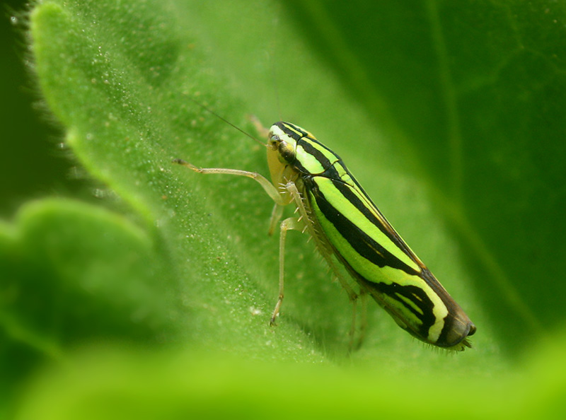Green zebra insect