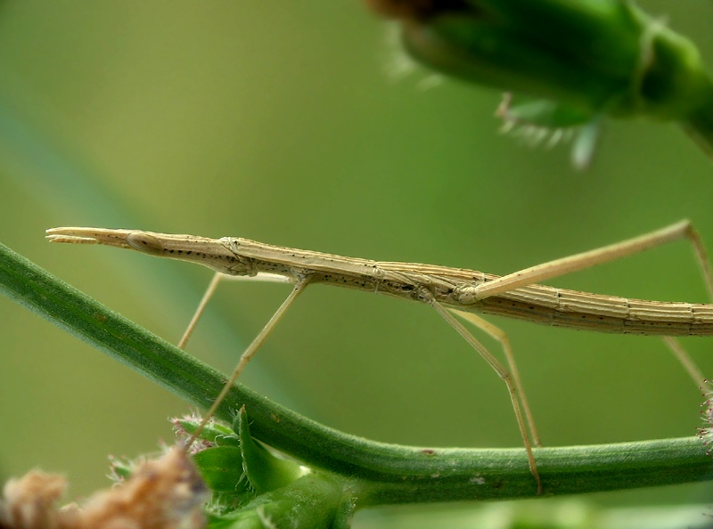 Branch insect