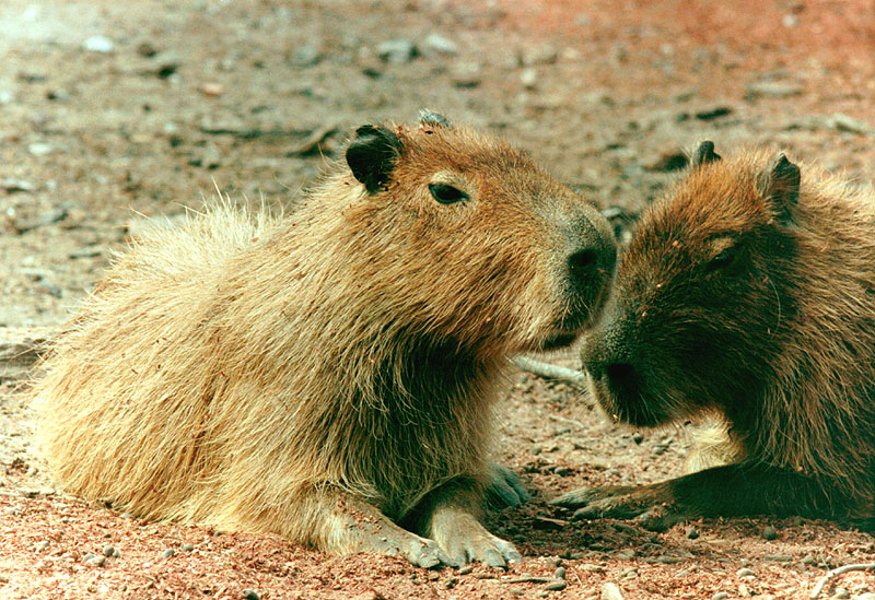 Giant rodents
