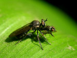 Title: Fly eating a fly