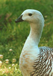 Title: Upland goose