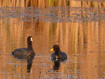 Title: Two coots