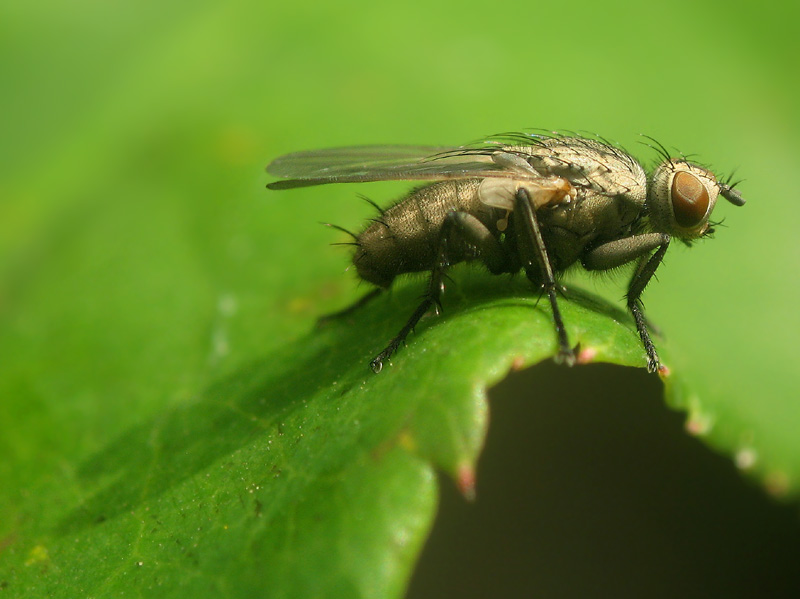 Ugly little fly
