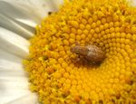 Title: Weevil in a daisy